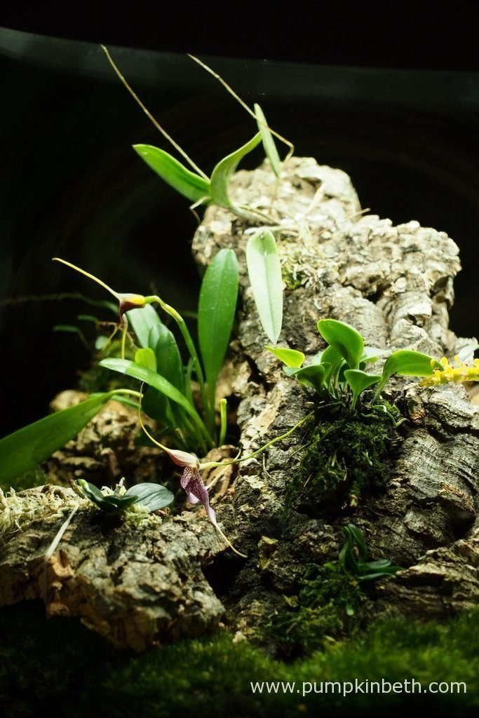 Another view of my Miniature Orchid Trial Terrarium. Bulbophyllum falcatum 'Minor', Masdevallia decumana, Masdevallia rechingeriana, Lepanthopsis astrophora 'Stalky', and Dryadella simula, are all flowering inside this terrarium.