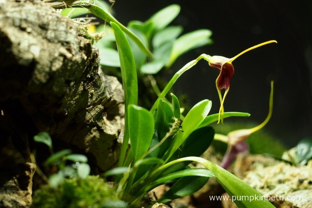 Masdevallia rechingeriana has such an elegant and beautiful flower. Pictured on the 15th April 2016, inside my Miniature Orchid Trial BiOrbAir Terrarium.