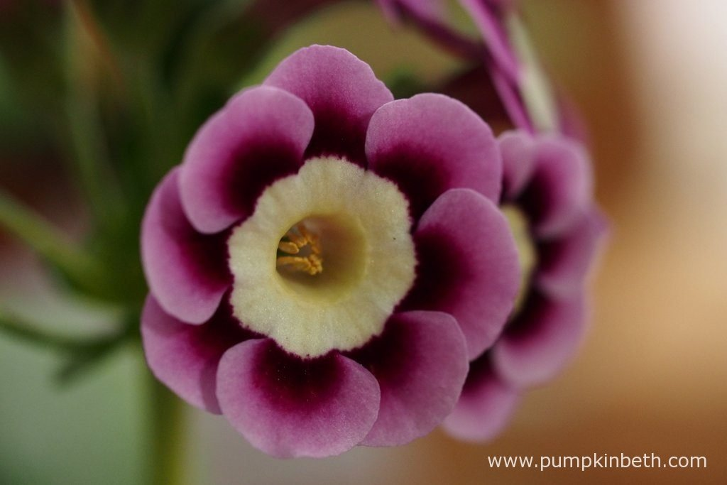 A close up of the flowers of Primula auricula 'Ian Greville'.