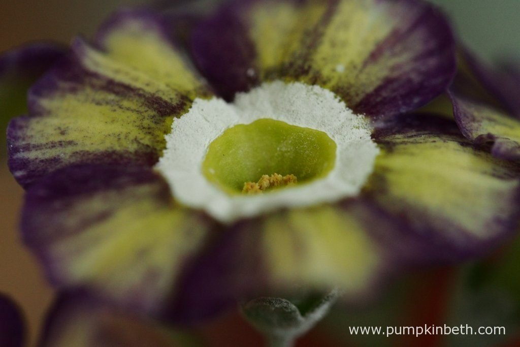 A closer look at the striped flowers of Primula auricula 'Fluffy Duckling'.