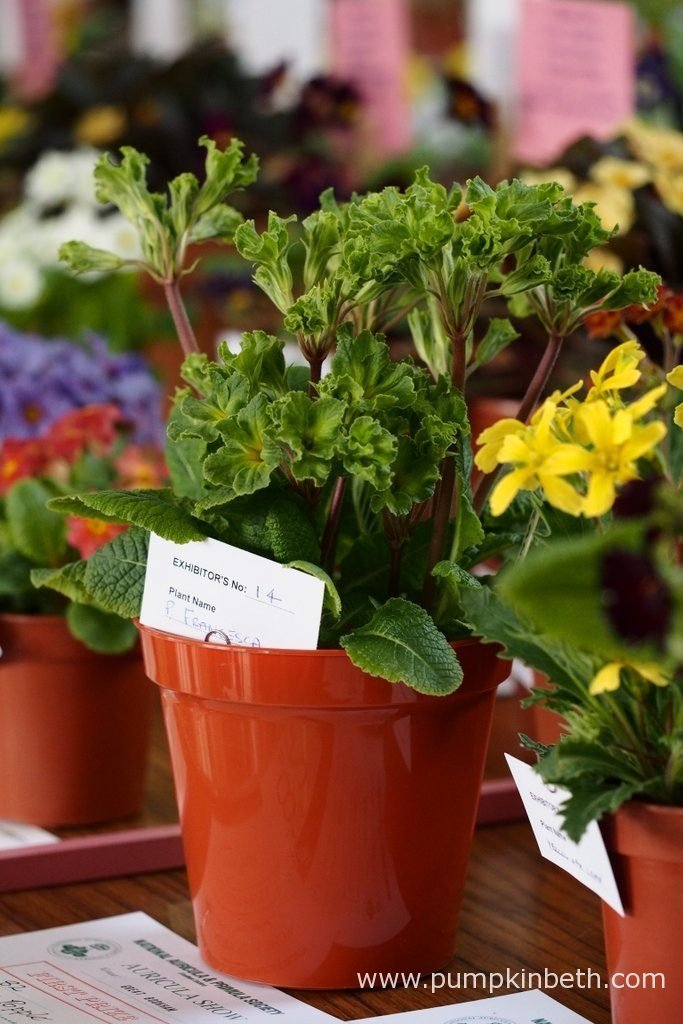 Steve Popple was awarded first prize at The National Auricula and Primula Society Southern Section 132nd Auricula Show for his super example of Primula 'Francisca'.