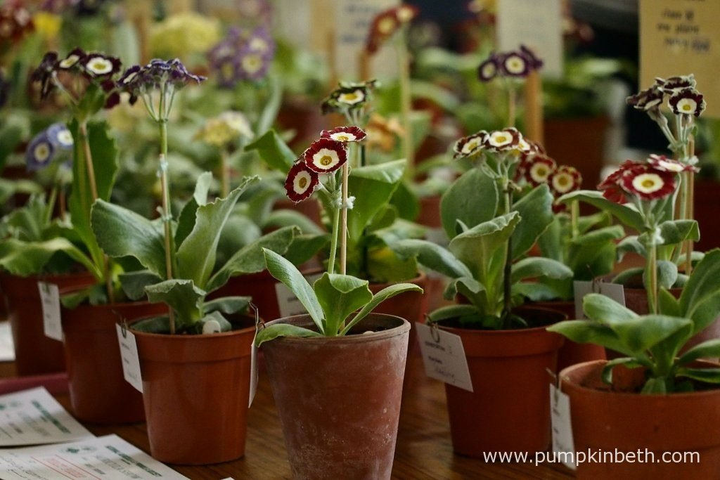 The National Auricula and Primula Society Southern Section 132nd Auricula Show was held on Saturday 30th April 2016 in Great Bookham.