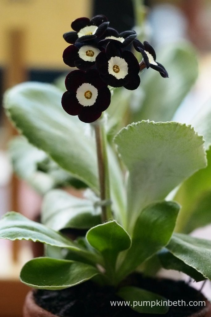 Heather Weeks grew this lovely example of Primula auricula 'Barbarella' which won first prize at The National Auricula and Primula Society Southern Section 132nd Auricula Show.