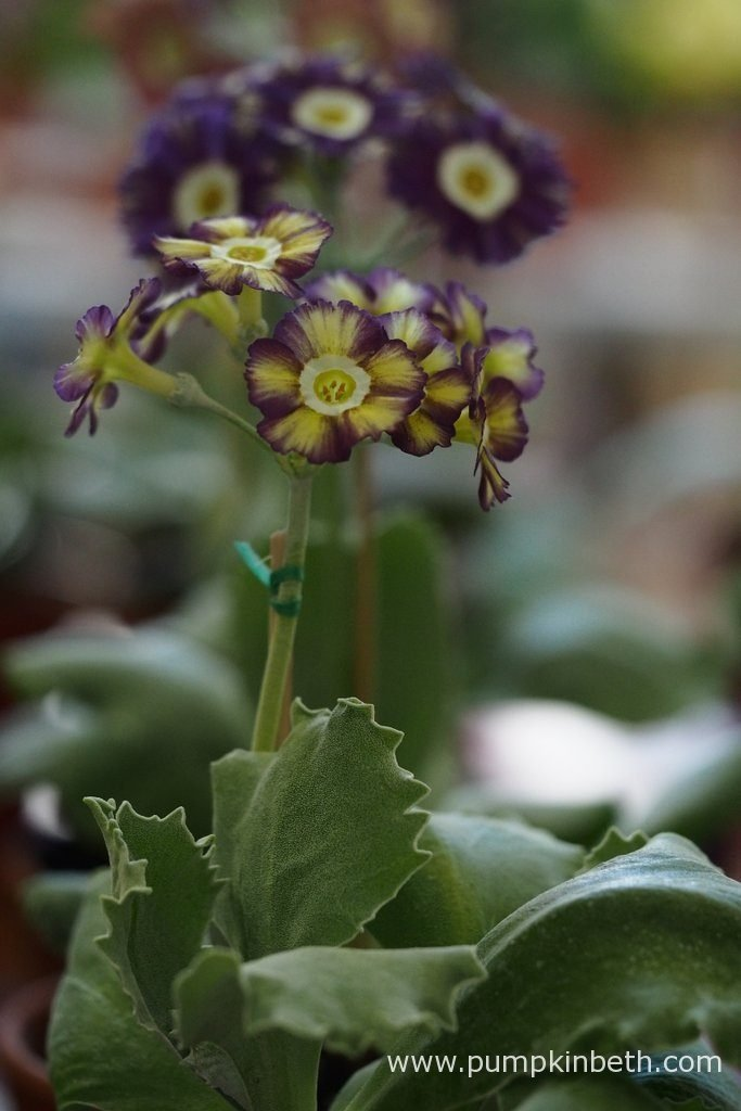 Colin Humphrey was awarded first prize at The National Auricula and Primula Society Southern Section 132nd Auricula Show for this super auricula.