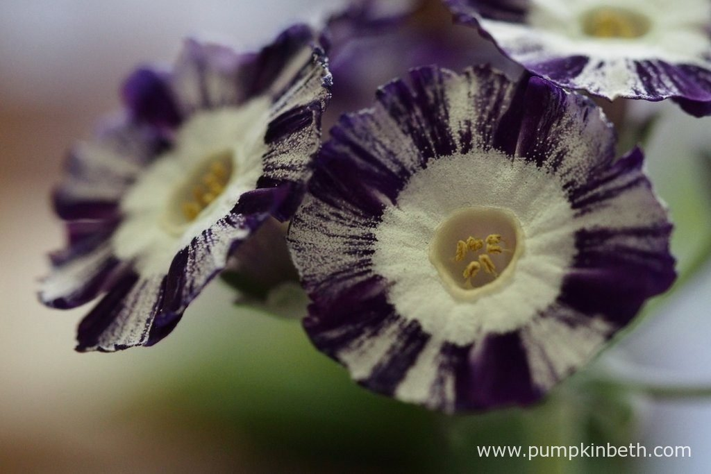 A closer look at the striped flowers of Primula auricula 'Night and Day'.