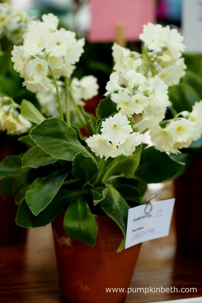 Janice Green was awarded first prize for this beautiful cream flowered seedling. This specimen was also chosen as one of The Premier Plants at The National Auricula and Primula Society Southern Section 132nd Auricula Show.