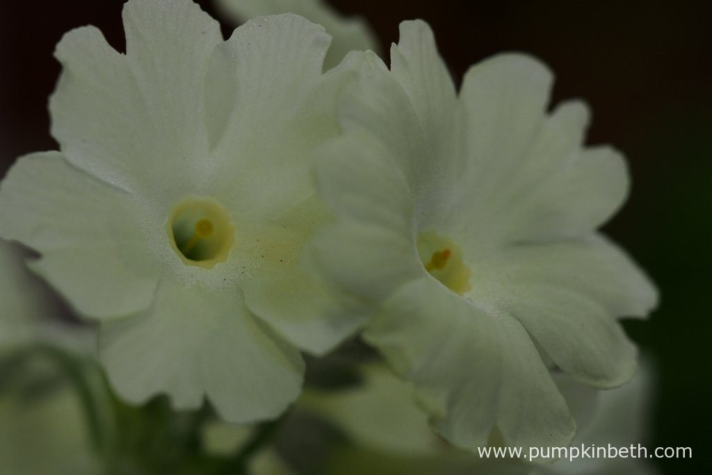 A closer look at the beautiful flowers on Janice Green's cream flowered seedling.