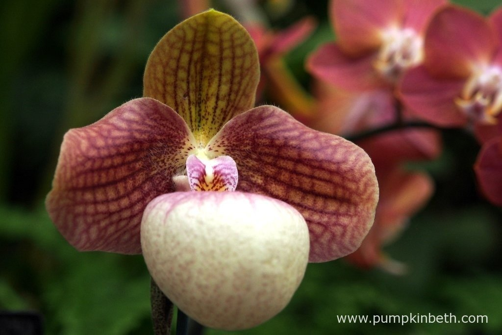 Paphiopedilum 'Liberty Taiwan' at The RHS London Orchid Show.