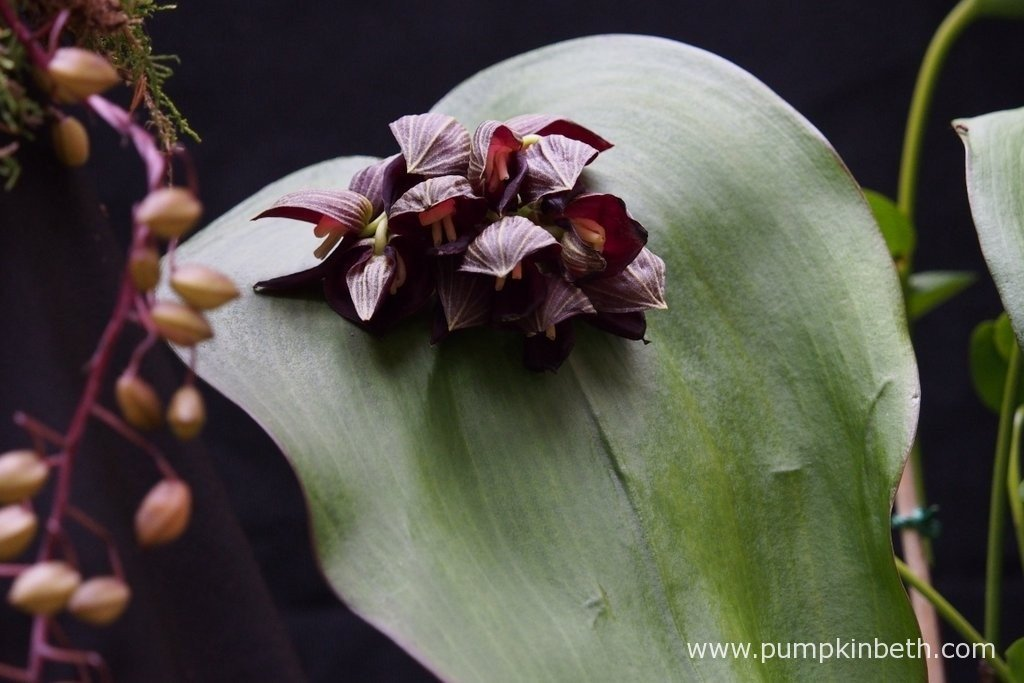 Pleurothallis teaguei from Akerne Orchids at The RHS London Orchid Show.