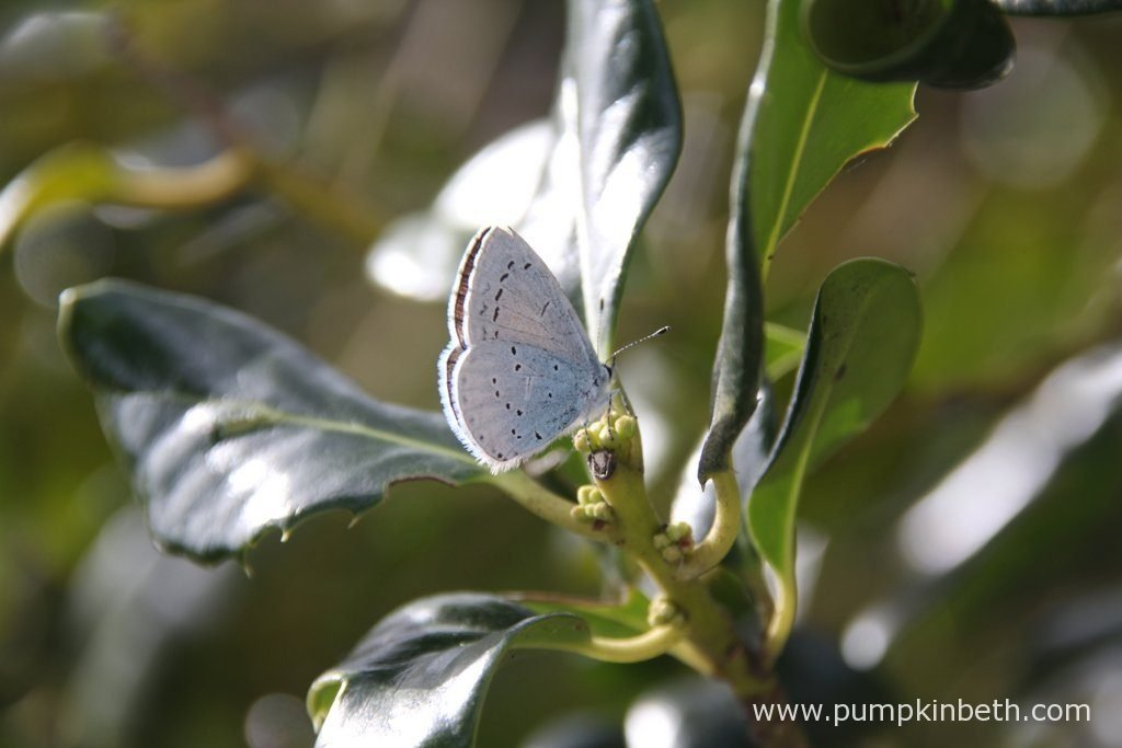 A Holly Blue butterfly, also known as Celastrina argiolus. Holly Blue butterflies lay their eggs on Ilex, also known as Holly, and Hedera Helix, also known as Ivy.