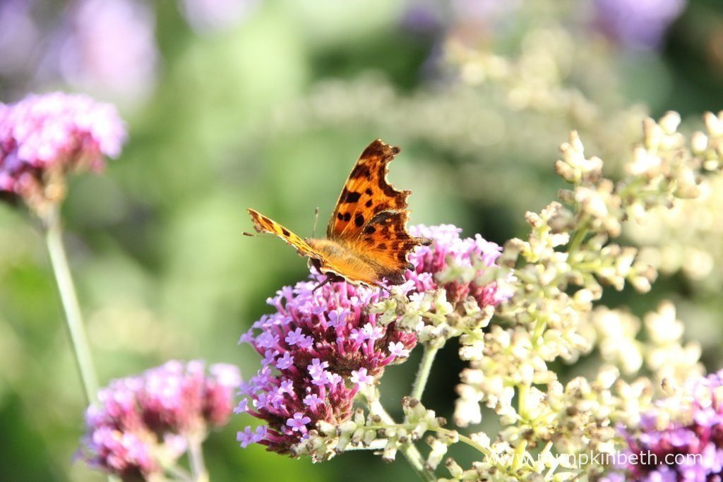 A Comma butterfly, also known as Polygonia c-album, feeding on Verbena bonariensis, a popular and easy to grow perennial, that's a super nectar-rich food plant for butterflies, moths and bees .