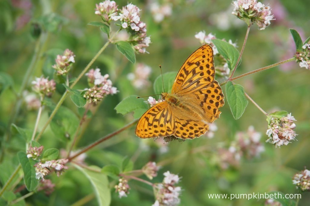 A Silver-washed Fritillary, also known as Argynnis paphia, feeding on Origanum vulgare, also known as wild oregano.