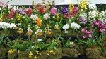 RHS London Orchid Show 2016