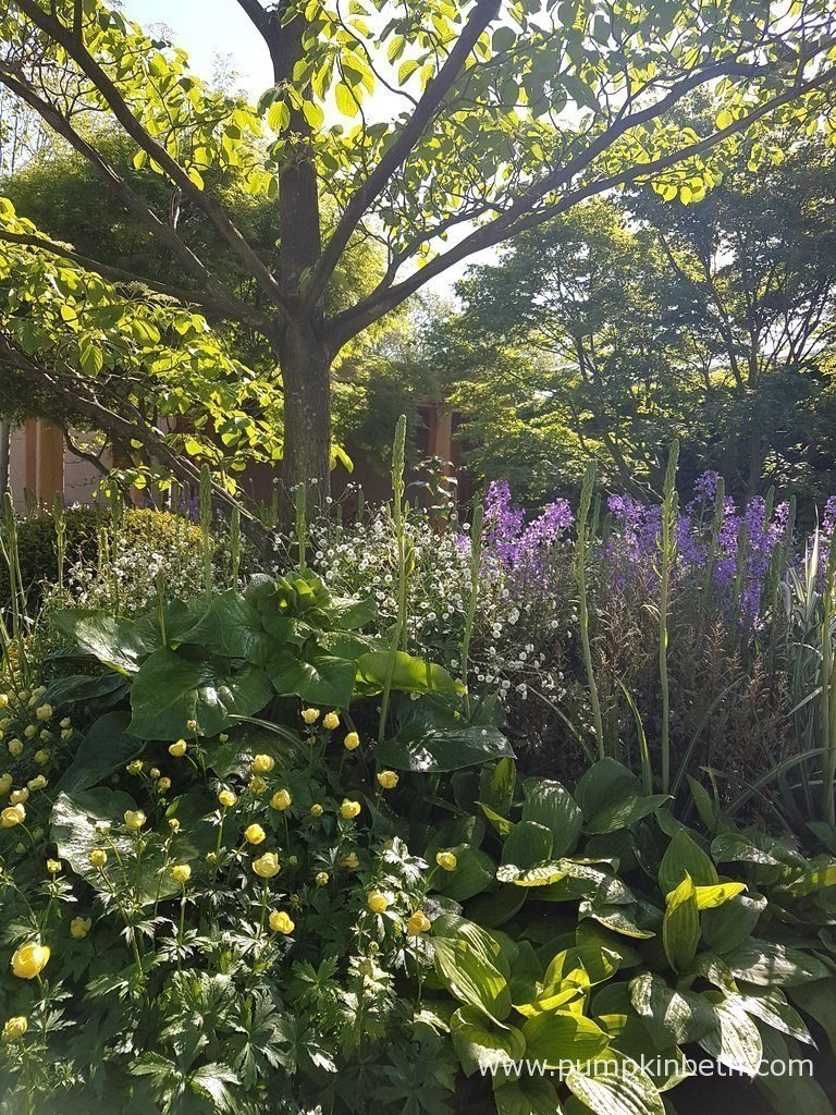 I loved the woodland style planting in The Morgan Stanley Garden for Great Ormond Street Hospital, this garden felt very calm, cool and relaxing, it's a space that I am certain the parents of the children who are receiving treatment at Great Ormond Street Hospital will take refuge in. This garden was designed by Chris Beardshaw. The delicate white, frothy flower in this photograph, that you can see behind the Hosta is Ranunculus aconitifolius 'Flore Pleno', the delicate purple flower next to it is Hesperis matronalis, the delicate yellow flower at the front of the picture is Trollius × cultorum 'Cheddar'. The flower spikes that you see, which are yet to open, are that of Camassia leichtlinii.