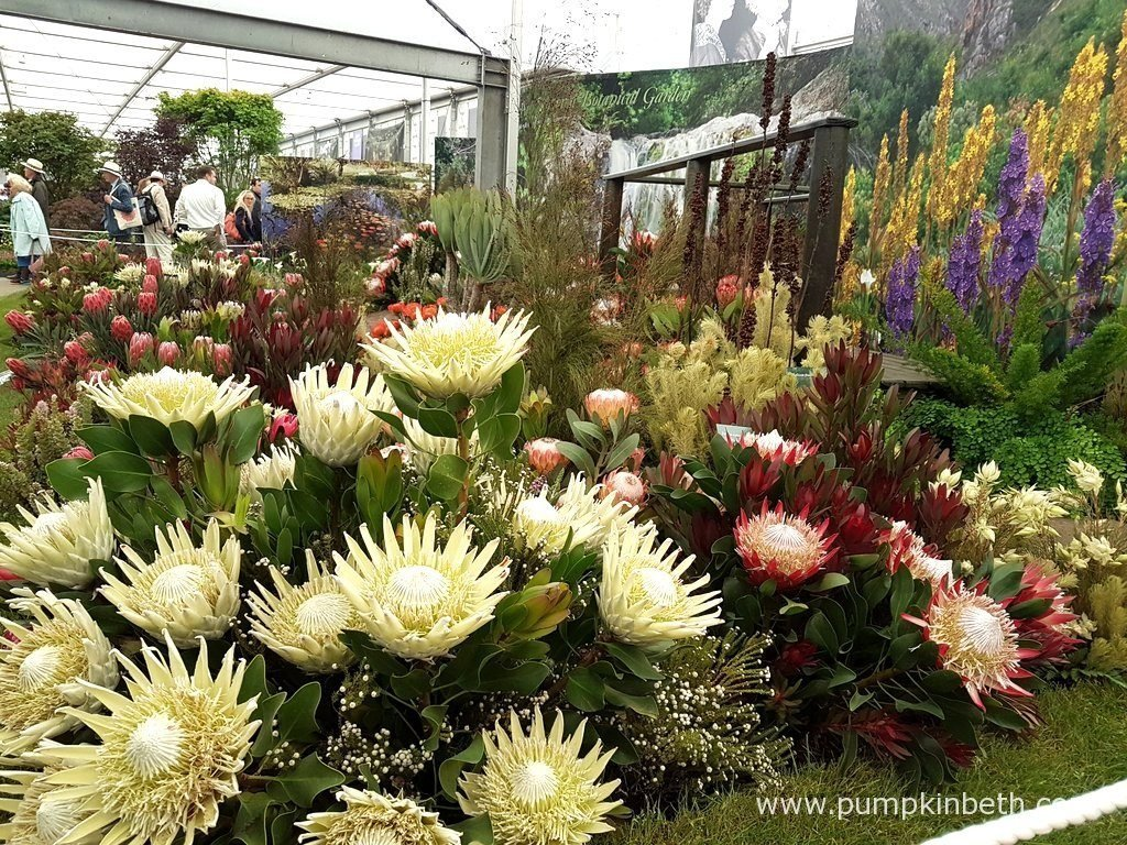 This fabulous exhibit from The Harold Porter National Botanical Garden, featured breath taking plants from the Western Cape of Australia. This informative exhibit beautifully show cased these wonderful plants, to the visitors inside The Great Pavilion, at The RHS Chelsea Flower Show 2016.