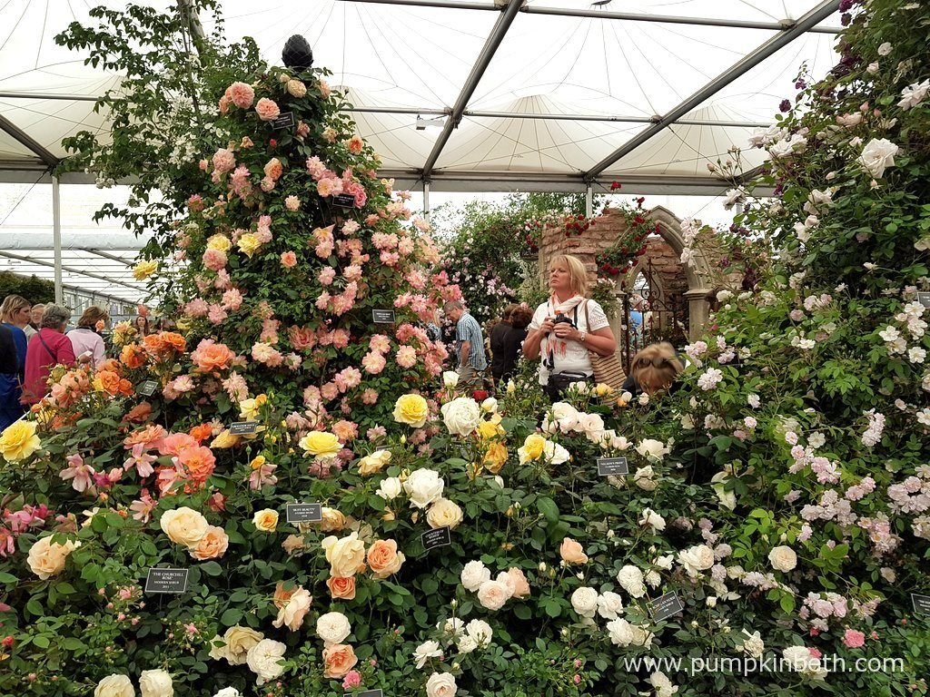 Peter Beales Roses are celebrating, having won their 23rd Gold Medal, in The Great Pavilion, at The RHS Chelsea Flower Show 2016.