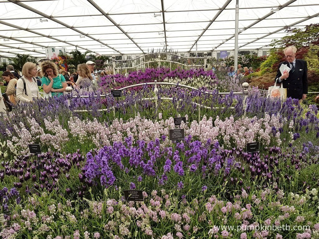 Downderry Nursery's exhibit at The RHS Chelsea Flower Show 2016 featured a metal framed bed filled with lavender plants.