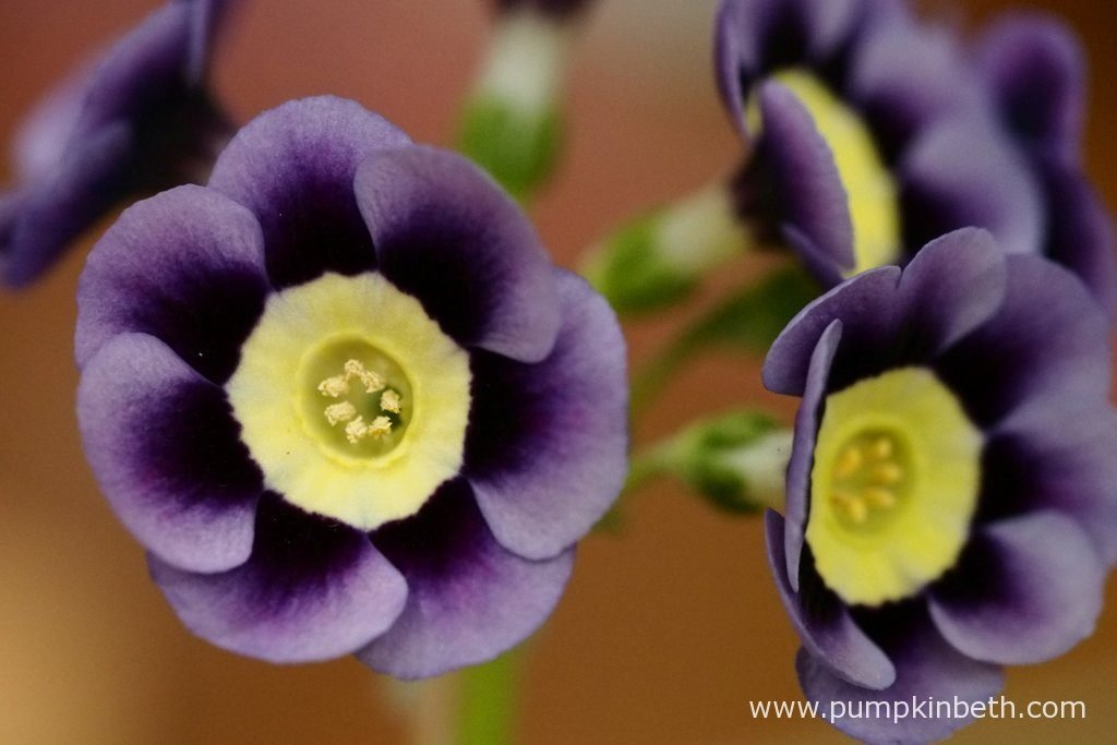 A closer look at the beautiful flowers of Primula auricula 'Dilly Dilly'.