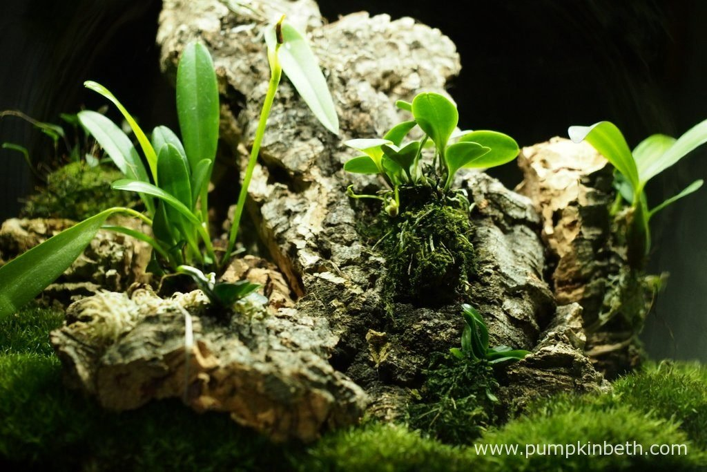 Here's a closer look at my Miniature Orchids inside my Miniature Orchid Trial BiOrbAir Terrarium. I took this photograph on the 6th May 2016; in this photograph, you might just be able to make out the two new flower buds on the Masdevallia decumana, and a new flower bud on the Masdevallia rechingeriana. My Bulbophyllum falcatum 'Minor' has just finished flowering and my Angraecum equitans is yet to flower, in the background, my Lepanthopsis astrophora 'Stalky' has been flowering for a number of months and is still in flower.