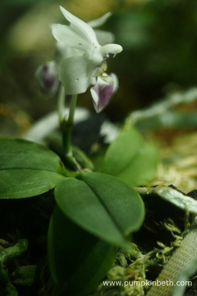 Here's my Phalaenopsis parishii, as photographed inside my BiOrbAir terrarium on the 6th May 2016. I am head over heals in love with this miniature orchid! It's a real sweetie. I just adore this Phalaenopsis, I get so much pleasure from seeing the flowers that this Phalaenopsis has produced and watching this miniature orchid grow. I do hope this dear little orchid will be happy over the long term growing inside my BiOrbAir terrarium, as I get so much please each time I look at this little orchid.
