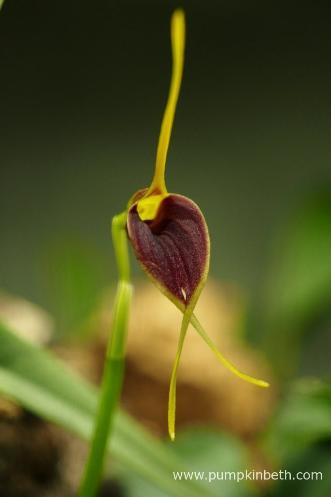The newest Masdevallia rechingeriana inflorescence opened today inside my Miniature Orchid Trial BiOrbAir Terrarium. Pictured on the 14th May 2016 - the day the flower opened.