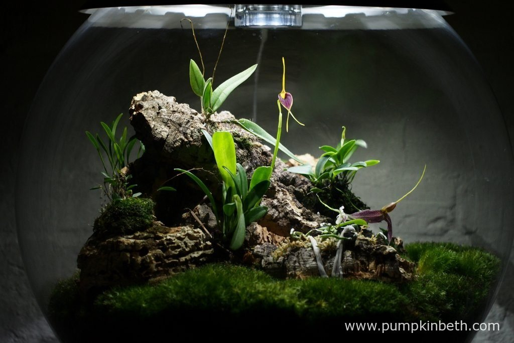 Here's my Miniature Orchid Trial BiOrbAir Terrarium, as pictured on the 14th May 2016. Inside this terrarium, Dryadella simula, Masdevallia decumana, Masdevallia rechingeriana, and Phalaenopsis parishii are all in flower.
