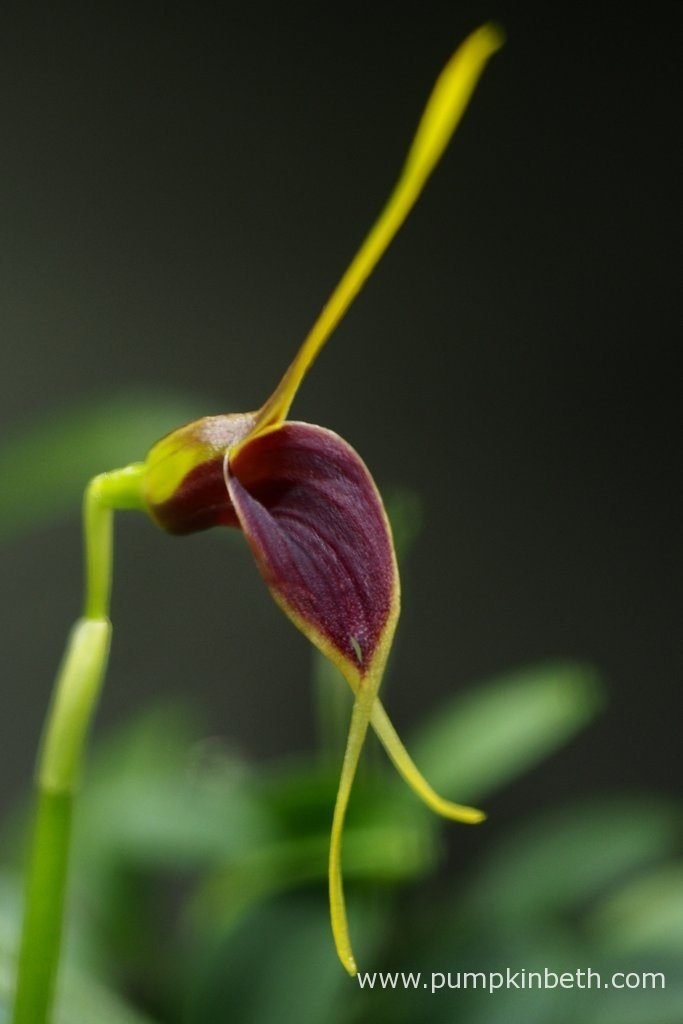 Masdevallia rechingeriana, as pictured inside my Miniature Orchid Trial BiOrbAir Terrarium, on the 14th May 2016.