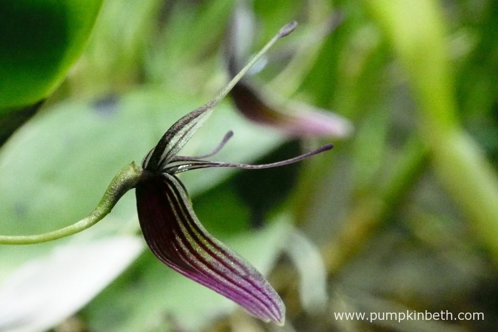 Restrepia purpurea 'Rayas Vino Tinto' produces flowers that are beautiful whichever angle they are viewed from. Pictured on the 17th May 2016, inside my BiOrbAir terrarium.