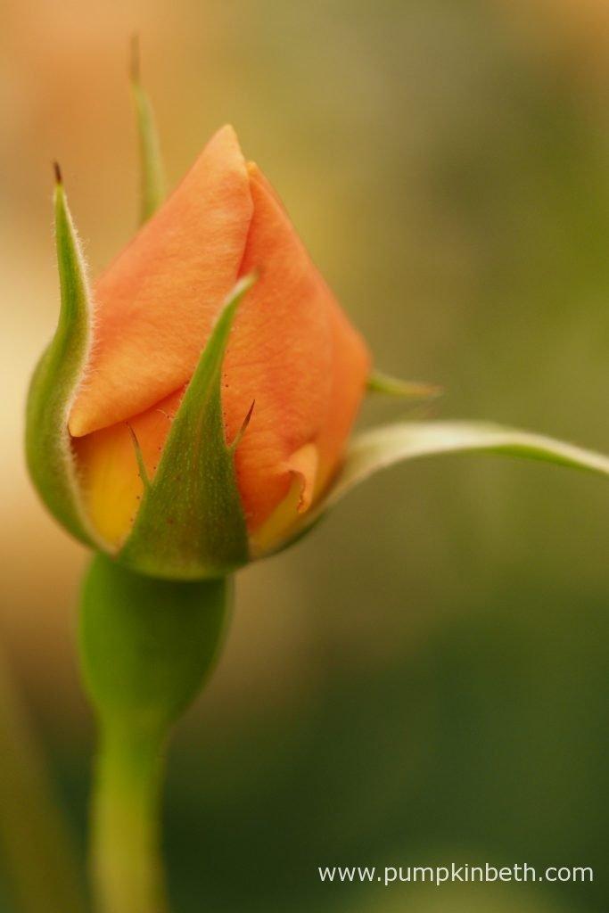Rosa 'Roald Dahl'.