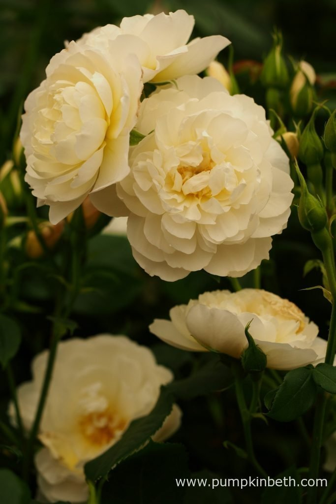 Rosa 'Imogen' is one of three new introductions from David Austin Roses for 2016. It was launched in the Great Pavilion, at The RHS Chelsea Flower Show 2016.