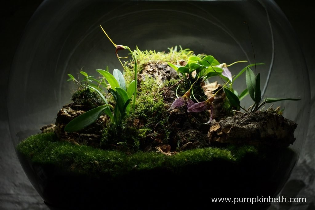 My Miniature Orchid Trial BiOrbAir Terrarium, pictured on the 26th May 2016, after a bit of a rearrange, the addition of one new orchid and some fresh new moss.