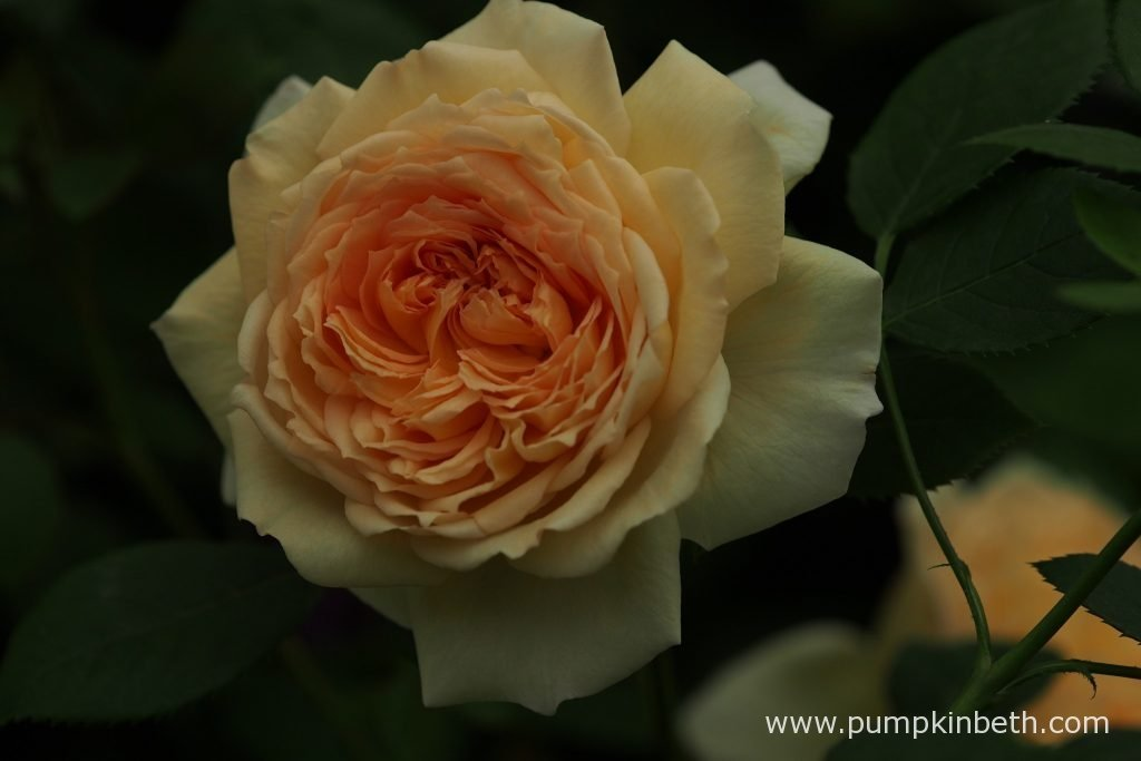 Rosa 'Bathsheba', a new climbing rose from David Austin Roses.