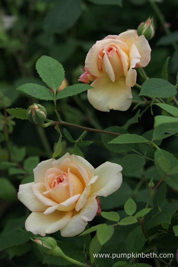 David Austin Roses' Rosa 'Bathsheba' has a warm myrrh fragrance.