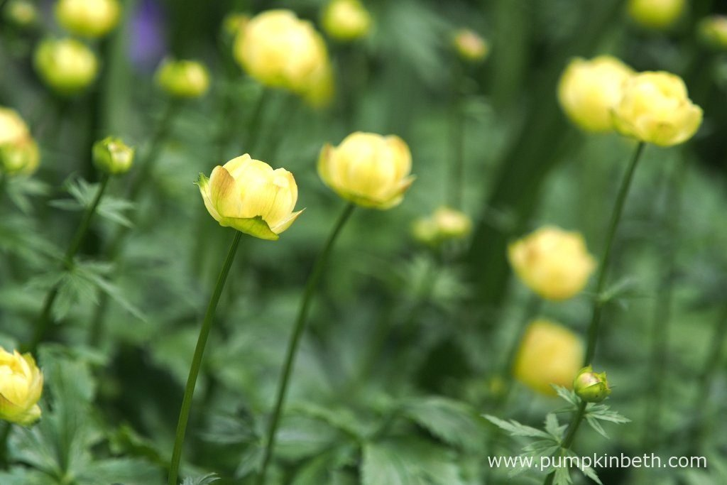 Trollius × cultorum 'Cheddar' was one of the stand out plants of The Morgan Stanley Garden for Great Ormond Street Hospital.