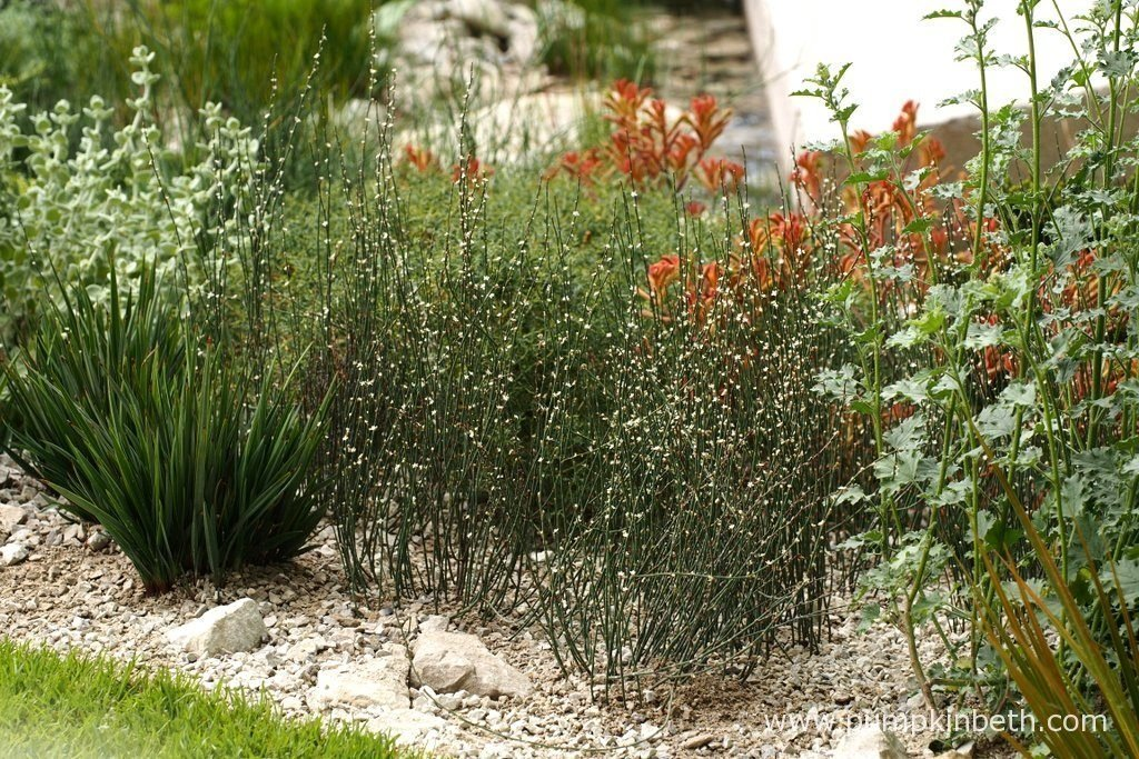 Polygonum scoparium from Southern Europe, Anigozanthos flavidus × rufus group from Australia, and Dianella revoluta 'Little Rev' from Australia, pictured in The Telegraph Garden at The RHS Chelsea Flower Show.