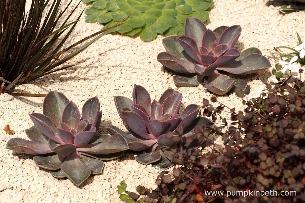 A trio of Echeveria 'Duchess of Nuremberg' with Acaena inermis 'Purpurea', and Aloe polyphylla, pictured in The Winton Beauty of Mathematics Garden, at The RHS Chelsea Flower Show 2016.