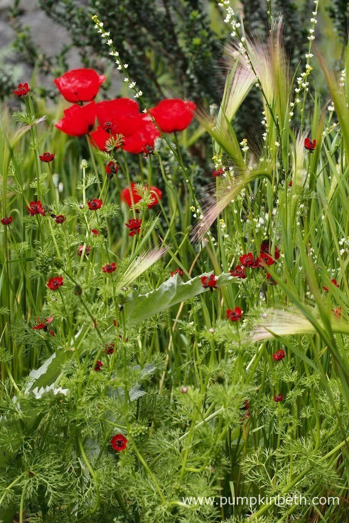 The startling red flowers of Adonis annua 'Scarlet Chalice', Papaver rhoeas and Papaver carmeli, mingle with Hordeum vulgare and Hordeum jabatum. The pretty white flowers of Crambe abyssinica add a little delicacy to this area of planting in The Royal Bank of Canada Garden at The RHS Chelsea Flower Show 2016.