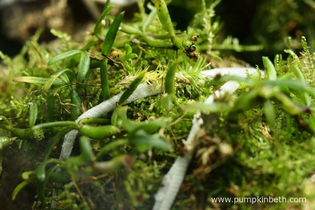 A new addition to my Miniature Orchid Trial BiOrbAir Terrarium - Mediocalcar decoratum. Pictured on the 2nd June 2016.