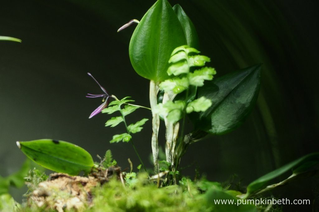 So far, Restrepia purpurea 'Rayas Vino Tinto' has been the most floriferous of the three Restrepias that reside inside this terrarium. This Restrepia has flowered almost continuously since I purchased it. Pictured on the 10th June 2016, inside my BiOrbAir terrarium.