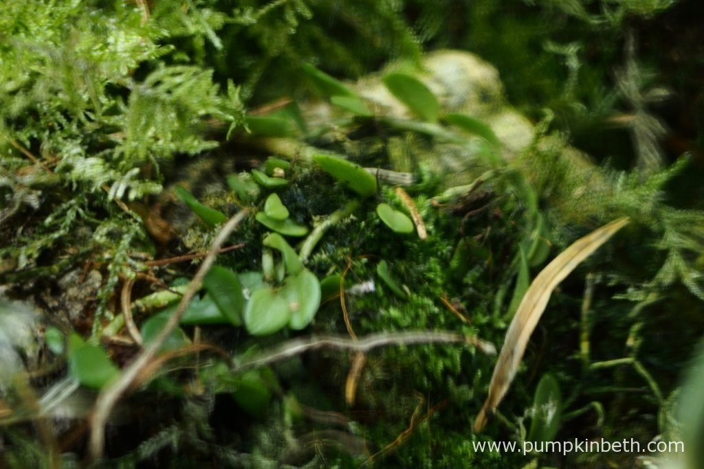 Barbosella australis, as pictured on the 10th June 2016, inside my BiOrbAir terrarium.
