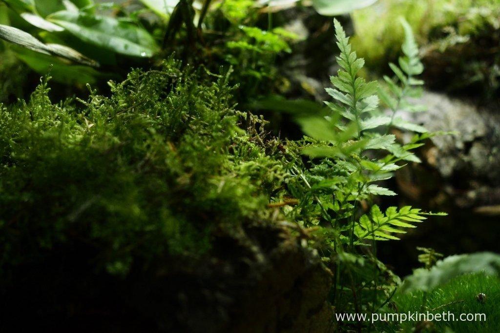 Polystichum tsussimense, pictured on the 10th June 2016, inside my BiOrbAir terrarium.