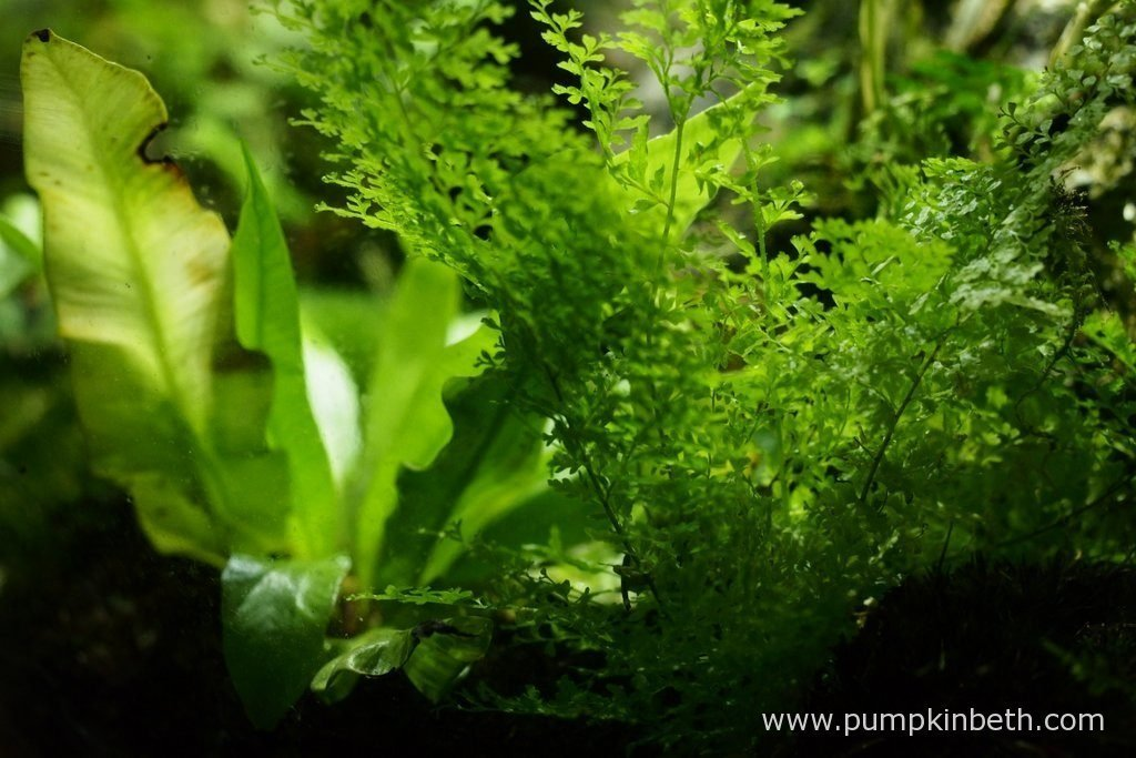 Nephrolepis exaltata 'Fluffy Ruffles' and Asplenium nidus 'Crispy Wave', as pictured on the 10th June 2016, inside my BiOrbAir terrarium. Both of these ferns were included in the original planting of this terrarium in September 2014.