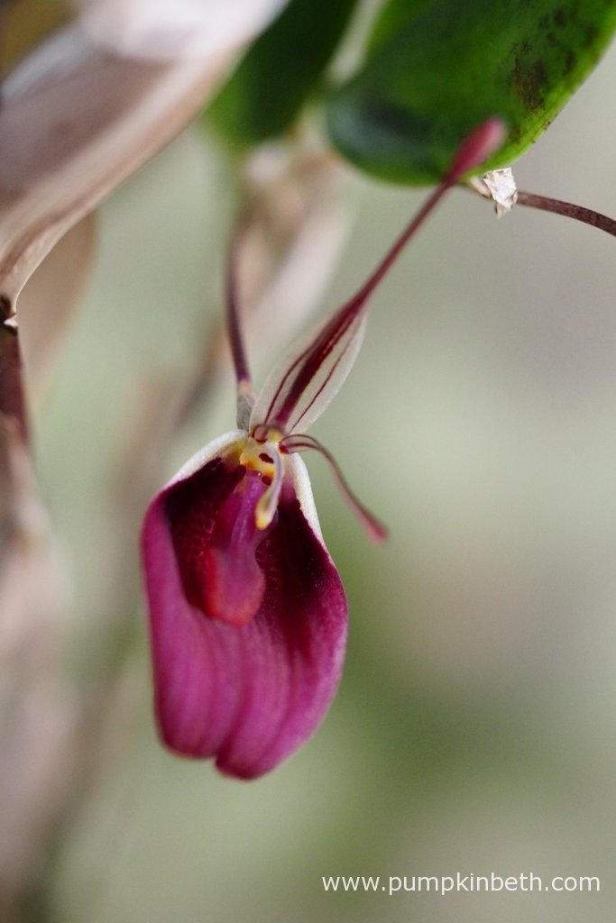 A Restrepia sanguinea inflorescence, as pictured on the 14th June 2016.