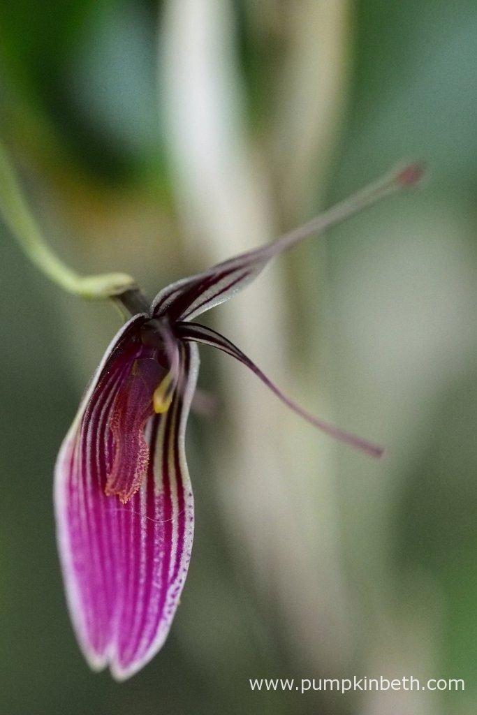 Restrepia purpurea 'Rayas Vino Tinto', pictured on the 15th June 2016.