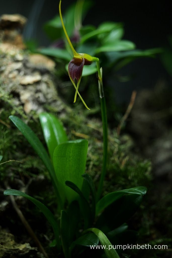 This Masdevallia rechingeriana has produced another beautiful flower. Pictured inside my Miniature Orchid Trial BiOrbAir Terrarium, on the 15th June 2016.