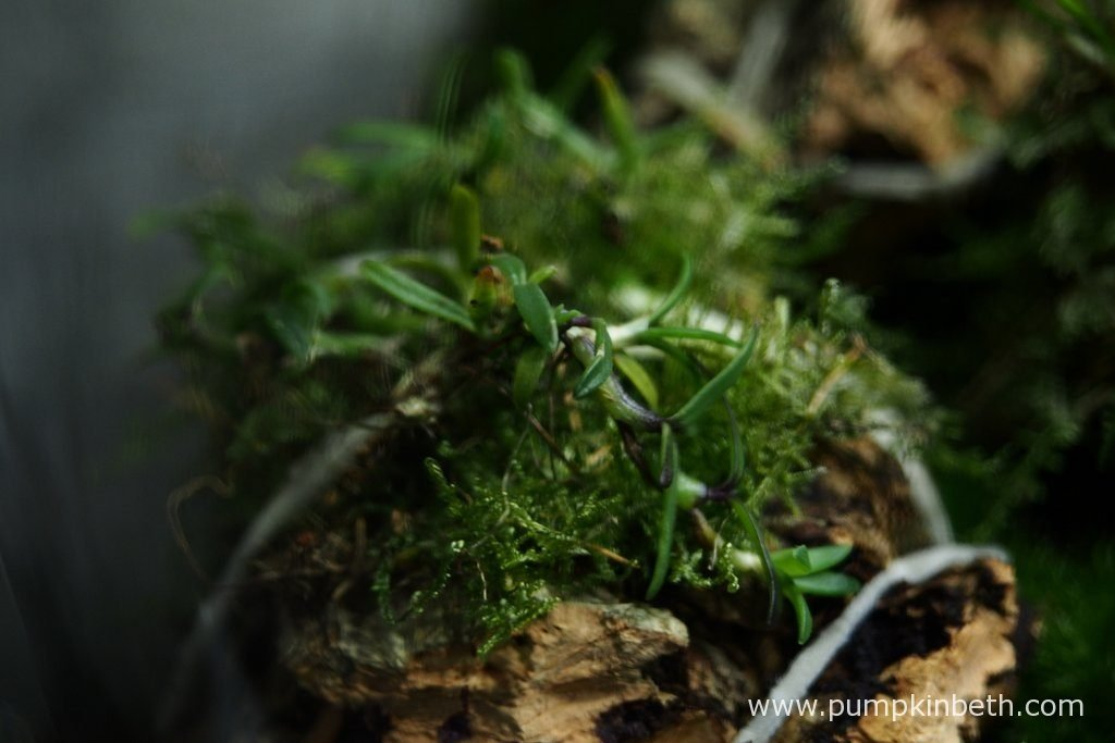 Mediocalcar decoratum was recently given to me by a friend, it is the newest introduction to this terrarium. Pictured on the 15th June 2016, inside my Miniature Orchid Trial BiOrbAir Terrarium.