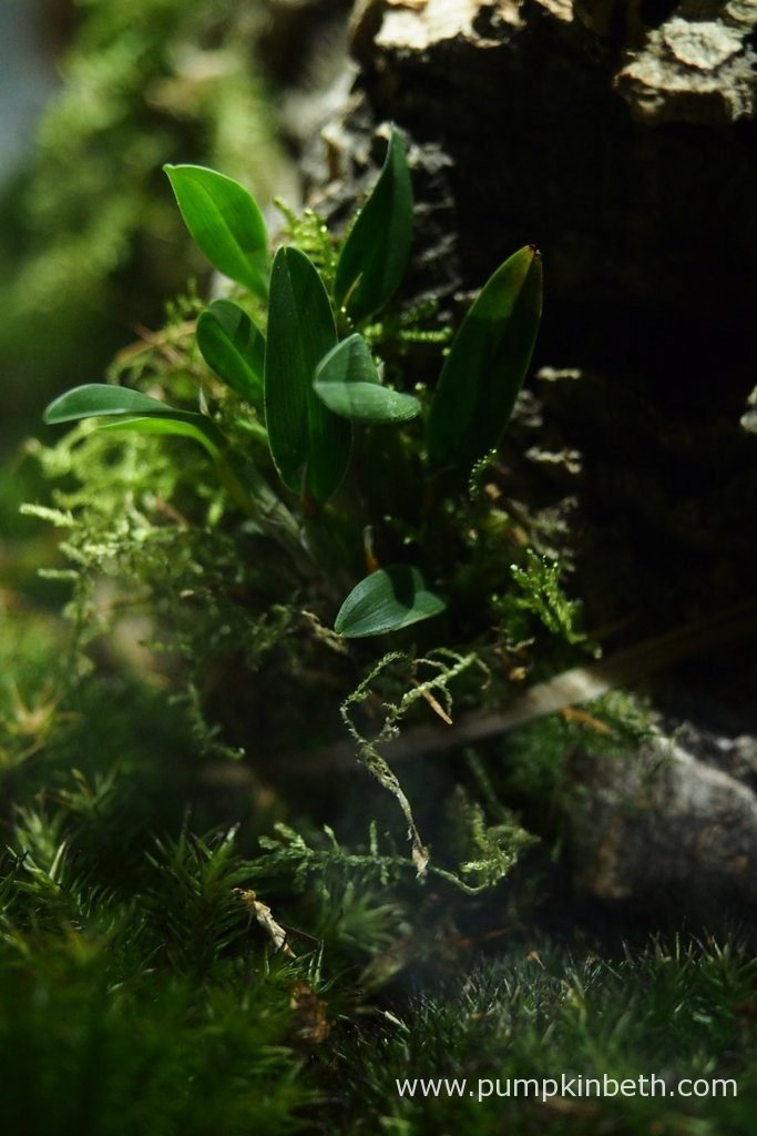 Diplocaulobium abbreviatum has settled in well to its new position inside my Miniature Orchid Trial BiOrbAir Terrarium. Pictured on the 15th June 2016.