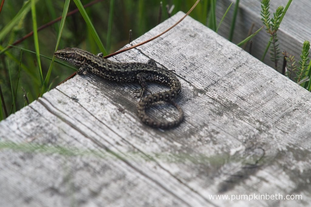 A Common Lizard, also known as Zootoca vivipara, on the boardwalk at Thursley Common National Nature Reserve in Surrey.
