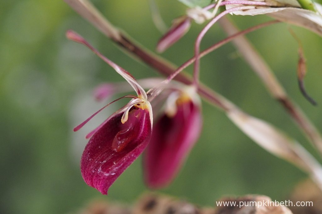 Restrepia sanguinea inflorescences, pictured on the 18th June 2016. Restrepia sanguinea flowers are such a beautiful shade of raspberry pink. This is a very glamorous orchid!