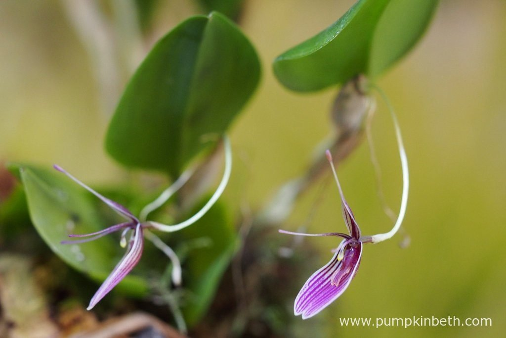 Two more Restrepia purpurea 'Rayas Vino Tinto' inflorescences. Pictured on the 28th June 2016.